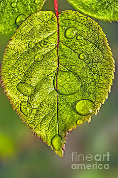 Raindrops On A Leaf by Tom York Images