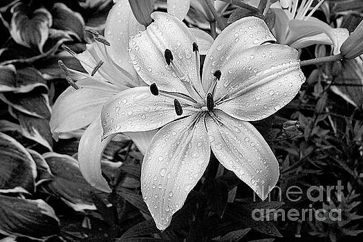 Raindrops on Daylily Petals black and white by Jenness Asby