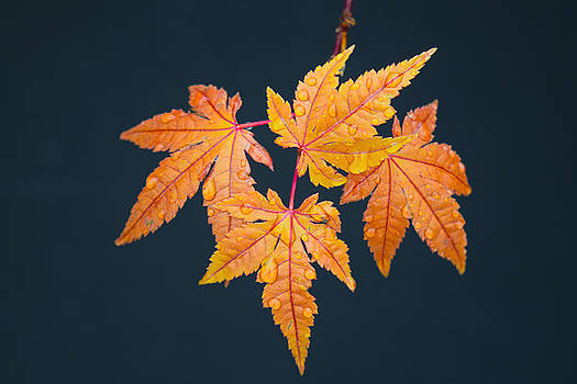Frank Wilson - Raindrops On Japanese Maple Leaves
