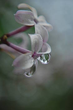Raindrops on Lilac  by Michelle  BarlondSmith