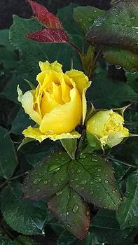 Raindrops on Roses 2 by Tammy Finnegan