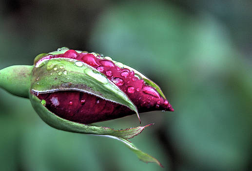 Raindrops on Roses by Nadine Berg