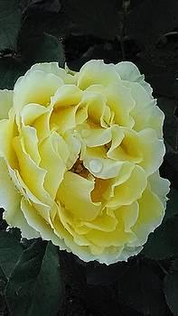 Raindrops on Roses1 by Tammy Finnegan