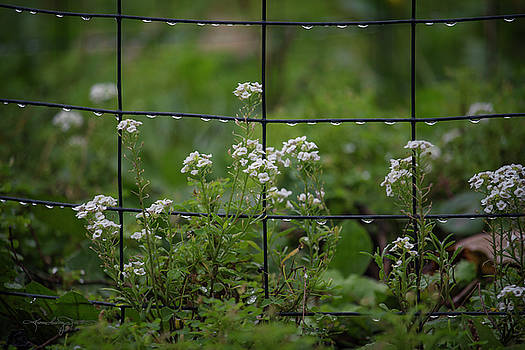 Raindrops on the Garden Fence by Karen Casey-Smith