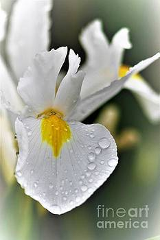 Raindrops On White Iris by Tracey Lee Cassin
