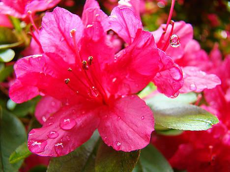 Baslee Troutman - RAINDROPS Red Azaleas Art Prints Water Drops Azalea Flowers