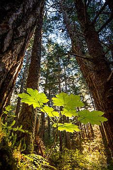 Rainforest Devil's Club by Tim Newton