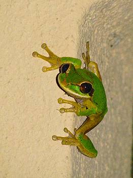 Alanna DPhoto - Rainforest Tree Frog