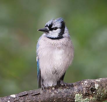 Rainy day Blue Jay by Diane Giurco