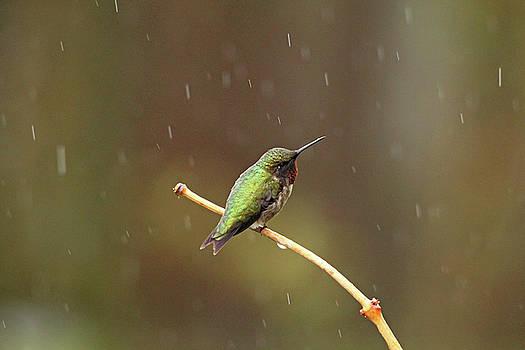 Debbie Oppermann - Rainy Day Hummingbird