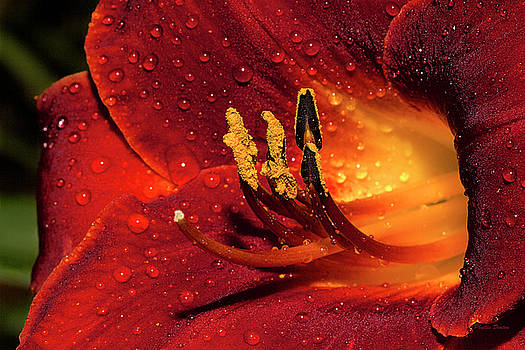 Rainy Day Lily by Phyllis Denton