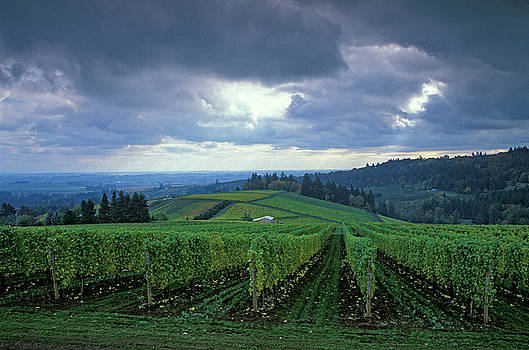 Rainy Day Vineyard by Greg Vaughn