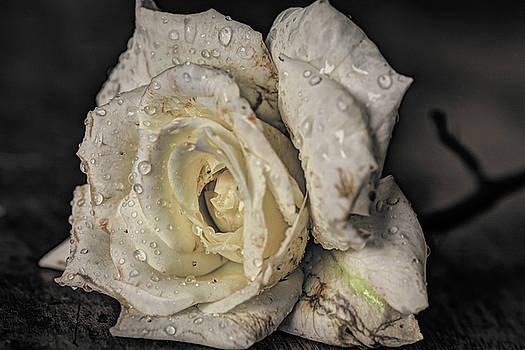 Rainy Rose by Jerri Moon Cantone