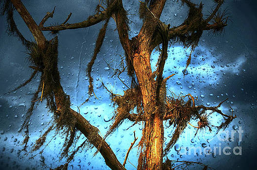 Rainy Weather on the Cyprus Trees by Elaine Manley