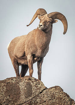 Ram of the Rio Grande by Britt Runyon