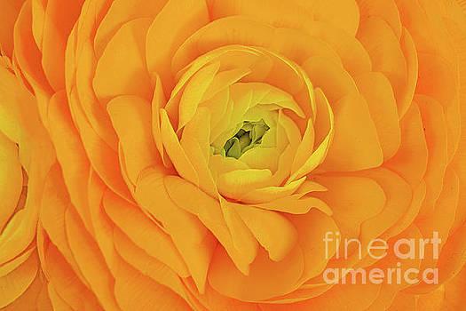 Regina Geoghan - Ranunculus in Orange