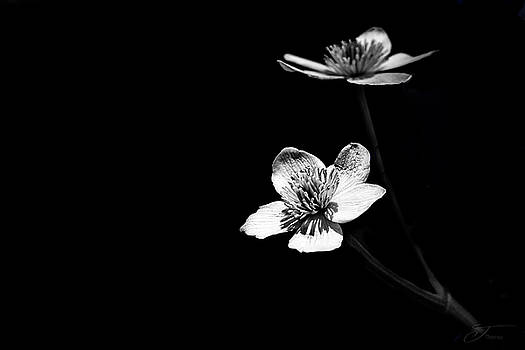 Ranunculus Buttercup black and white Flower by J Thomas