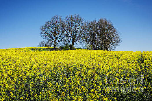 Rape Seed by Tony Priestley
