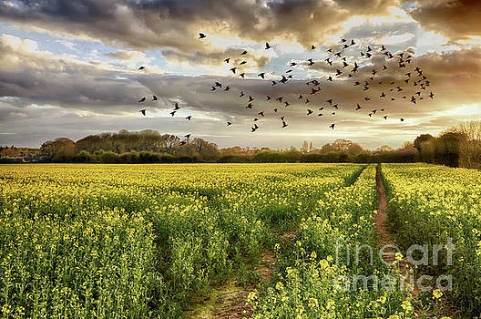 Rapeseed field at sunset with birds by Simon Bratt Photography LRPS