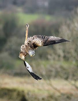 Raptor diving for prey by Grant Glendinning