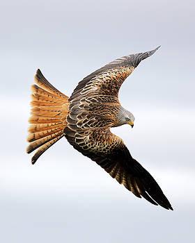 Raptor soaring by Grant Glendinning