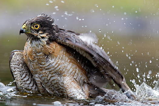 Raptor Sparrow takes a bath in a pond by Ronald Jansen