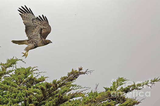 Raptor Take Off 2 by Natural Focal Point Photography