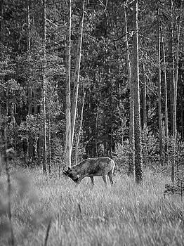 Rare and wild. Finnish forest reindeer bw by Jouko Lehto
