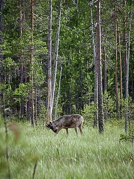Rare and wild. Finnish forest reindeer by Jouko Lehto