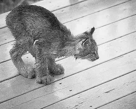 Crouching Kitty by Tim Newton