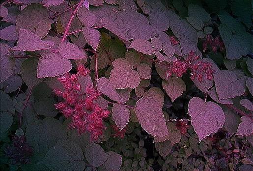 Fran Kelly - Raspberries