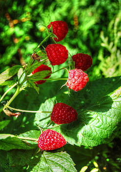 Raspberries by Pennie  McCracken