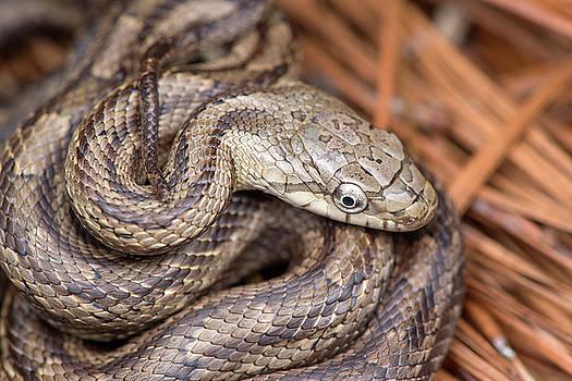 Rat Snake by Derek Thornton