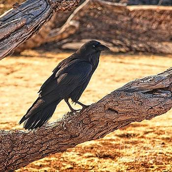 Jon Burch Photography - Raven