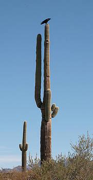 Raven on Tip of Giant Saguaro Cactus by Matt Cormons