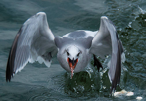 Ravenous Gull by John Roach
