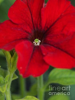Ravishing Red by Dorothy Lee