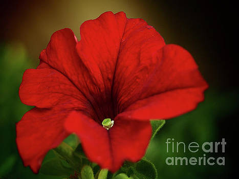 Ravishing Red In The Garden Shadows by Dorothy Lee