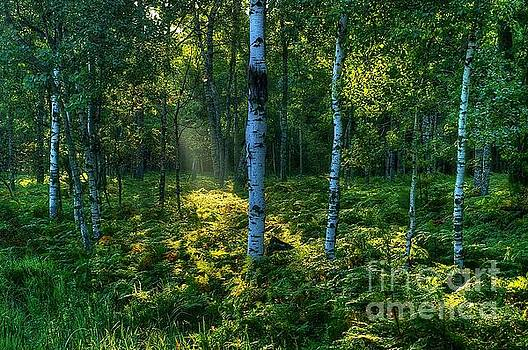 Rays in the Forest by Randy Pollard