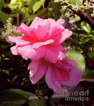 Reaching for the Sky Wild Rose by Dave Nevue