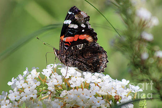 Red Admiral Butterfly Ventral View by Karen Adams