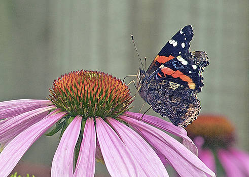 Michael Peychich - Red Admiral