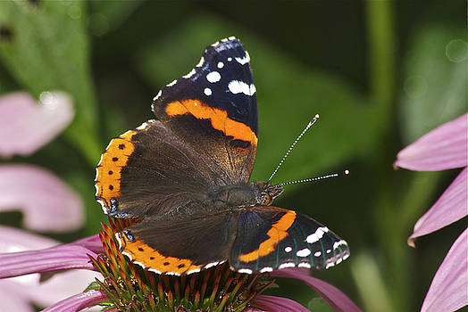 Michael Peychich - Red Admiral Perched