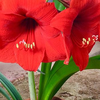 Red Amarryllis Flower For Mothers Day by Jan Moore