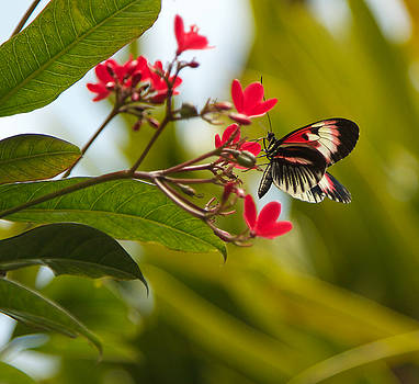 Dee Carpenter - Red and Black Butterfly