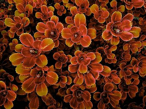 Colin Drysdale - Red And Gold Succulent