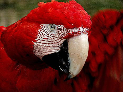 Red-and-Green Macaw by Ines Ganteaume