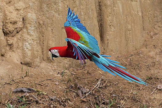 Red-and-green Macaw by Jean-Luc Baron