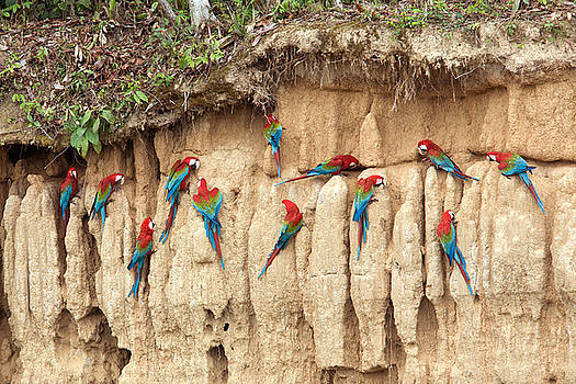 Aivar Mikko - Red and Green Macaws Eating Minerals