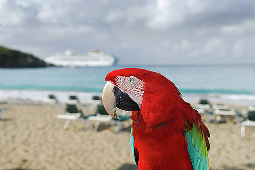 Reimar Gaertner - Red and green parrot on the beach and blurred cruise ship